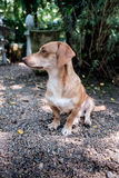 Brown dog sitting outdoor on gravel floor. In the sun light looking the other way Royalty Free Stock Photos
