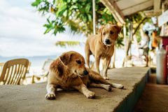 Brown dog sitting in a restaurant on a sandy island royalty free stock image