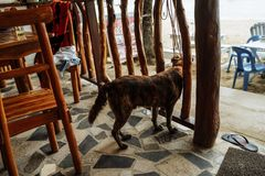 Brown dog sitting in a restaurant on a sandy island royalty free stock photography