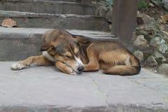 Brown dog sleep on the staircase. The brown dog sleep alone on the staircase under sunlight Stock Photos