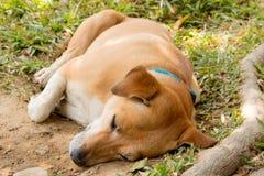 Brown Dog Sleep Royalty Free Stock Photography