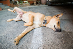 Brown dog sleep on the floor Royalty Free Stock Photo