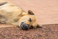 Brown dog sleep on the ground. Under sun light Stock Photos