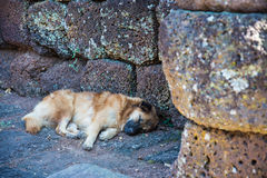 Brown dog sleep on rock stone floor Royalty Free Stock Photos