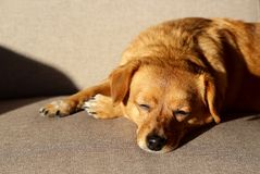 Brown dog sleeping on a couch royalty free stock images
