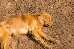 Brown dog is sleeping on the ground Stock Photography