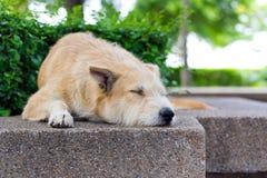 Brown dog sleeping Stock Photo
