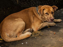 The Brown Dog sleeping. Royalty Free Stock Photography