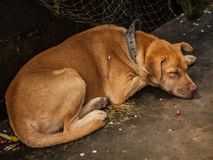 The Brown Dog sleeping. Royalty Free Stock Image