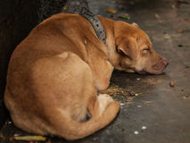 The Brown Dog sleeping. Stock Photos