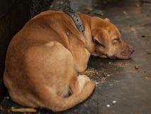 The Brown Dog sleeping. Stock Photos