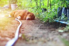 Brown dog sleeps. Brown dog sleeps in the garden Stock Photography