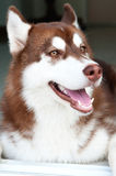 Brown dog with smile face Royalty Free Stock Images