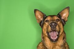 Brown dog smiling. Royalty Free Stock Images