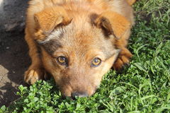 Brown dog with his snout in the grass Stock Image