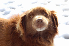 Brown dog on snow. Portrait of cute brown dog with snowy background Stock Photo