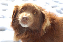 Brown dog on snow. Portrait of brown dog on white snow Stock Image