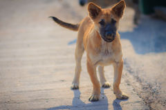 A brown dog that stand on concrete floor in the morning, looking. And barking to the stranger Stock Photo