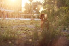 Brown dog standing on the field. Brown dog standing on the field under the sunlight Stock Photo
