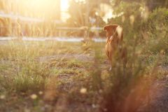 Brown dog standing on the field. Brown dog standing on the field under the sunlight Stock Images