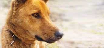 Brown dog, street dog, shepherd, portrait outdoors royalty free stock images