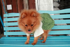 Brown dog Thailand cute pet Pom Pom. At country Stock Image
