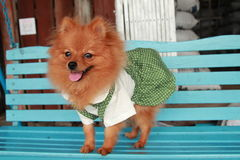 Brown dog Thailand cute pet Pom Pom. At country Royalty Free Stock Images