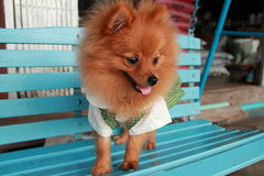Brown dog Thailand cute pet Pom Pom. At country Royalty Free Stock Photo