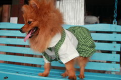 Brown dog Thailand cute pet Pom Pom. At country Stock Photos