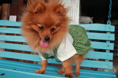 Brown dog Thailand cute pet Pom Pom. At country Royalty Free Stock Photos