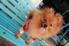 Brown dog Thailand cute pet Pom Pom. At country Stock Photo