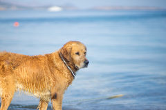Brown Dog Think at Aegean Sea Beach Stock Images