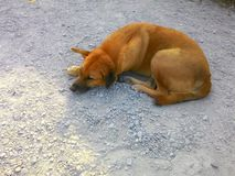 Brown dog is tired Royalty Free Stock Photos