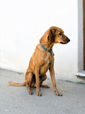 Brown dog waiting for walk - by door, outside Royalty Free Stock Photography