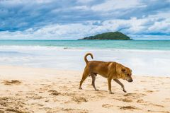 Brown dog is walking on the beach.  Stock Photo
