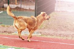 Brown dog walking on the football field. Outdoor Royalty Free Stock Image