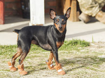 Brown dog walking on the grass in brown boots. Small black brown dog walking on the grass in brown boots royalty free stock photo