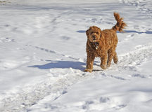 Brown dog walking in the snow Stock Photos