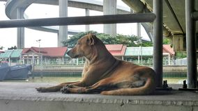 Brown dog watching over the pier. And a ship in the river .  Huge number of stray dogs roaming the street. Many of them bone thin, mangy and pathetic looking Stock Photography