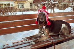 A brown dog in a winter hat winks while lying on a bench. Her hat is funny with three pompoms Stock Image
