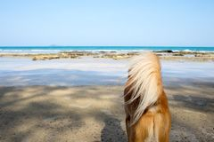 A brown dog wondering by the sea. A brown dog wondering by the sea with reef rock on the beach and beautiful clear blue sky Royalty Free Stock Photo
