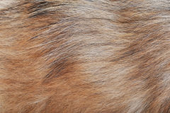 Brown dog wool Royalty Free Stock Images