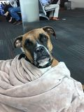 Brown dog wrapped in a blanket stock image