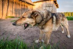 Brown dog yawns Royalty Free Stock Photos