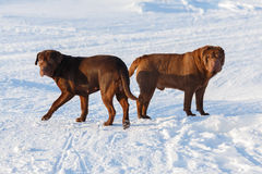 Brown dogs Royalty Free Stock Images