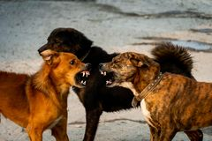 Three dogs are fighting stock photography
