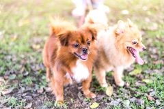 Brown dogs walking in park,Obedient pet with owner. Brown dogs walking in public park,Obedient pet with owner stock images