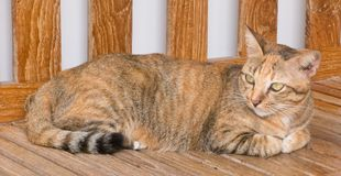 Brown Domestic Cat Resting on A Chair Stock Photo