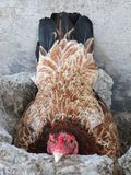 Brown Domestic Chicken, Female Chicken or Hen Incubating Her Own Eggs stock image