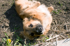 Brown domestic dog Stock Photography